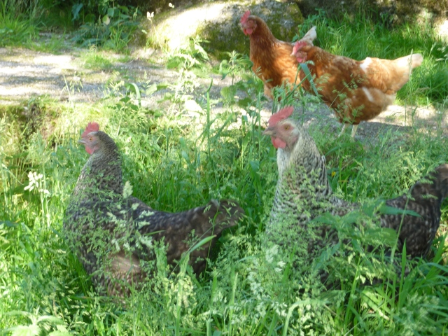 Chickens in long grass