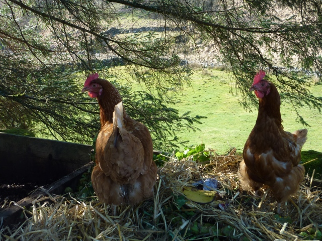 Two of our hens are assisting with the composting efforts.