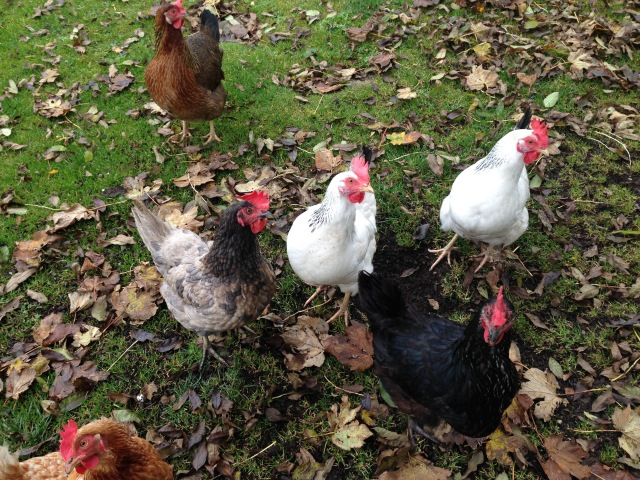 """Let's do it!"" say the hens."